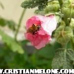 L'ape abruzzese e il polline.